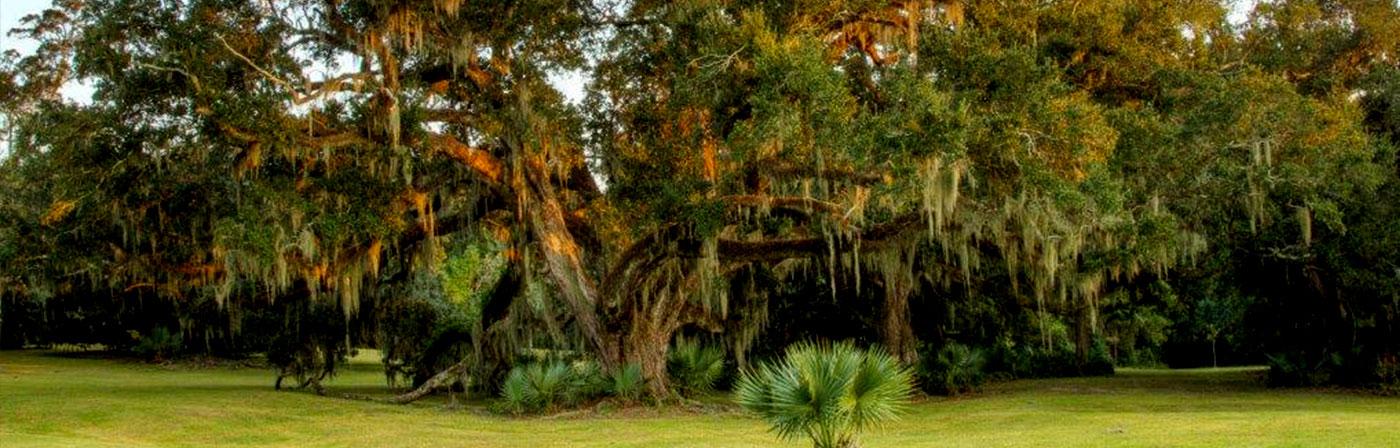 Avery Island Palmeto Oak